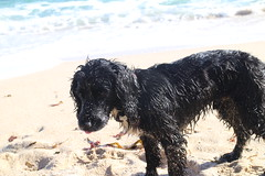 curly coated retriever(0.0), newfoundland(0.0), barbet(0.0), dog breed(1.0), animal(1.0), dog(1.0), pet(1.0), mammal(1.0), portuguese water dog(1.0), spanish water dog(1.0),