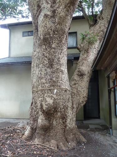 坂ノ下の御霊神社のタブノキ