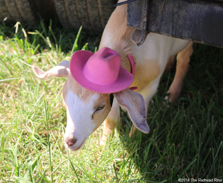 20 cute goat with pink hat Field Day Of The Past Rockville Virginia