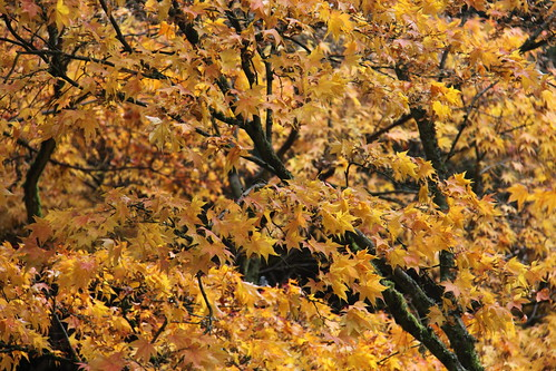 Acers in yellow