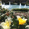 Roses & fountains -- 2 of my favorite things. #rvablooms