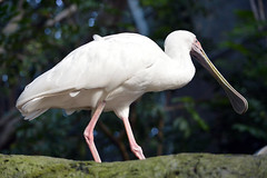 stork(0.0), great egret(0.0), white stork(0.0), ibis(0.0), egret(0.0), animal(1.0), wing(1.0), fauna(1.0), ciconiiformes(1.0), beak(1.0), spoonbill(1.0), bird(1.0), wildlife(1.0),