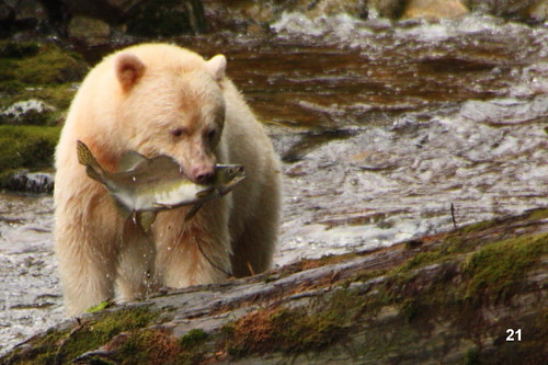 A white spirit bear fishing in the Great Bear Rainforest 5