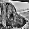 TGIF!  #cello #limoncello #tommydslimoncello #gsp #germanshorthairedpointer #pointer #birddog #deutschkurzhaar #dogs #dogscorner #dogsandpals #dogsofficialdog #dogsofinstagram #tgif