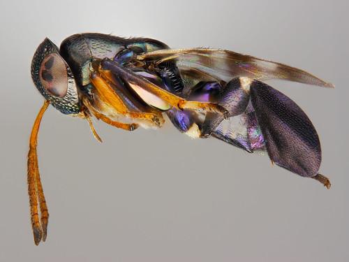 strange parasitoid wasp