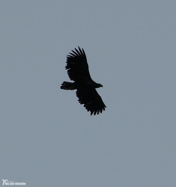 P1090128_2 - White-tailed Eagle, Isle of Mull