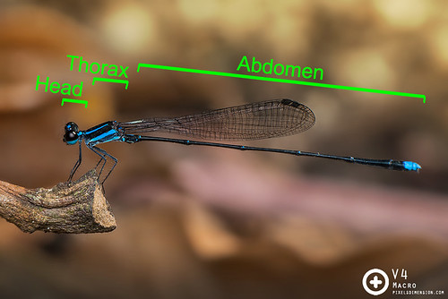 Insects- Body Segments