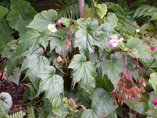 Begonia formosana