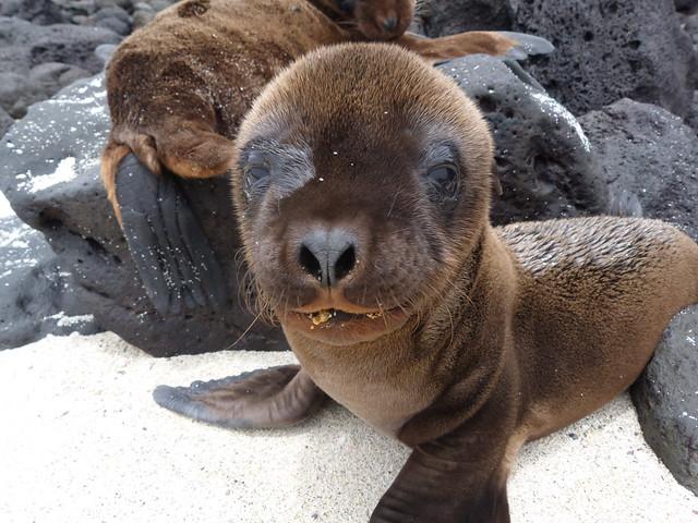 Cría de león marino de Isla Santa Fe (Galápagos)
