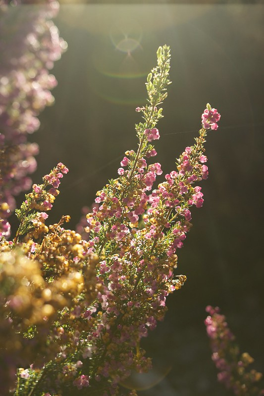© Amie Whiting_2014_Winter Morning Heather Garden_05