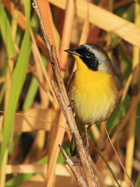 Common Yellowthroat male 2-20141106