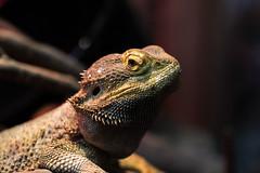 agama, animal, reptile, lizard, macro photography, fauna, close-up, scaled reptile, wildlife,