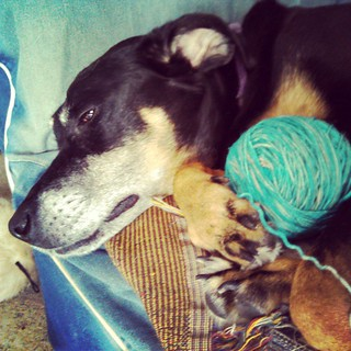 Doberman yarn holder? Lola loves @madelinetosh #yarn Lazy Sundays... Watching the race and knitting. #dogstagram #instadog #dobermanmix #adoptdontshop #seniordog #ilovebigmutts