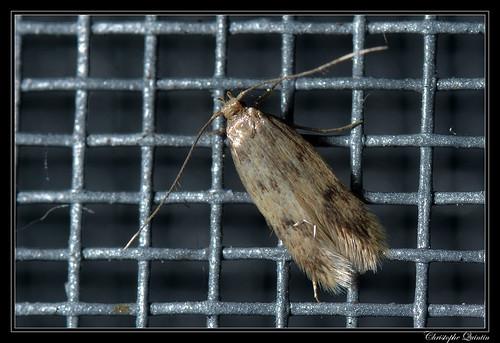 Borkhausenia nefrax mâle