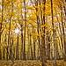 Autumn Timber