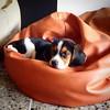 #PeteteVivas se porta de un bien :heart:️ #Beagle #tw