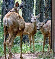 Morning Visitors, Yellowstone 8-11