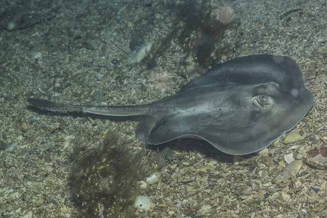 Sparsely spotted stingaree (Urolophus paucimaculatus)