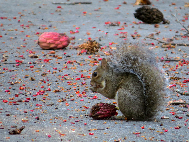 Eastern Grey Squirrel eating magnolia seeds
