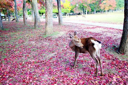 奈良。紅葉和鹿