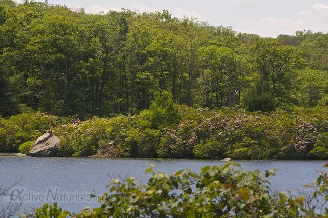 naturist & mountain laurel bloom 0000 Harriman State Park, New York, USA