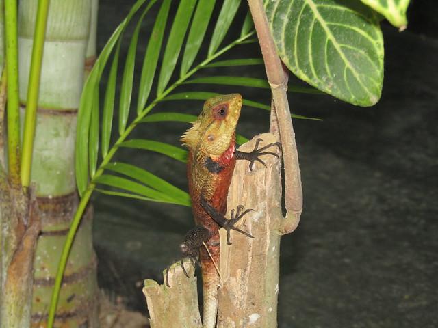 Garden lizard, Bentota, SL, Canon POWERSHOT SX420 IS