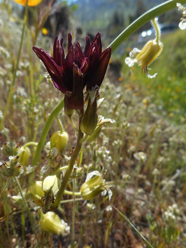 brassicaceae california flowers fresnocounty maroon plants purple sierranevadafoothills usa