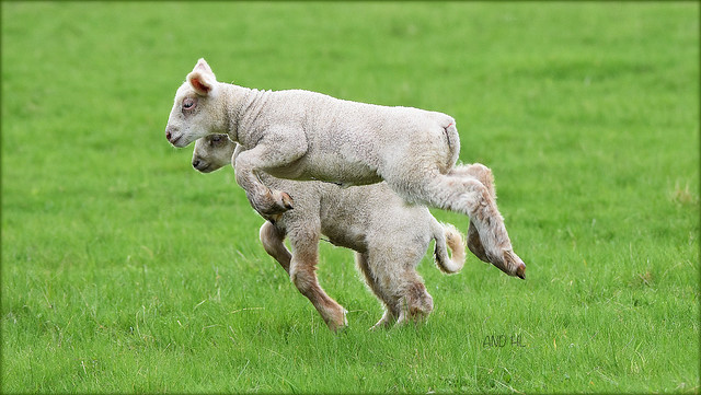 doux comme des agneaux !