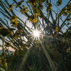 1703 Sun thru the Brittle Bush and Ocotillo