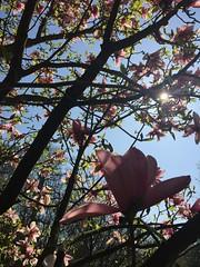 Magnolia Blossom in sunshine