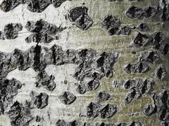 Осина (Populus tremula)