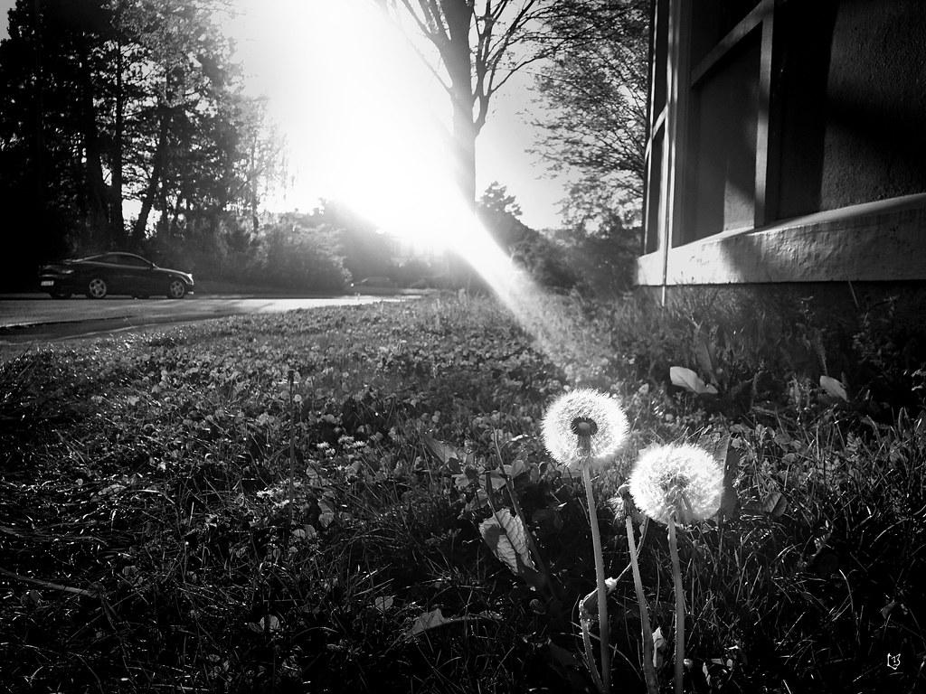 Pissenlits Sous Les Sunlight!