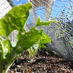 Lettuce under wire cover to stop butterflies