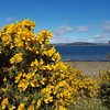 Gorse bush. Scotland is very yellow again.  #scotland #scottish #coast #sea #yellow