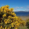 Gorse bush. Scotland is very yellow again.  #scotland #scottish #coast #sea #yellow