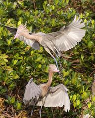 Pair of Reddish Egrets