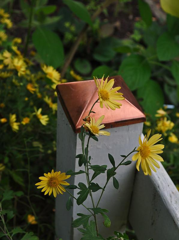 Chrysanthemum (a.k.a. Dendranthema) 'Bolero' (2)