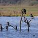 Cormorant Hierarchy ©markkilner