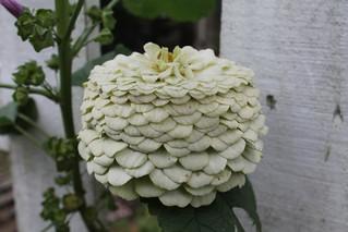 aging zinnia