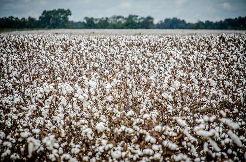 Bishopville Cotton Field