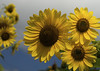 Lovers of Yellow_DSC03033