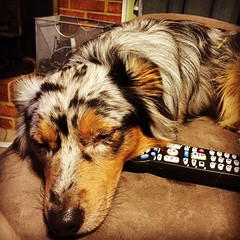 Lazy dog day. #miniaussie #americanshepherd #aussielove