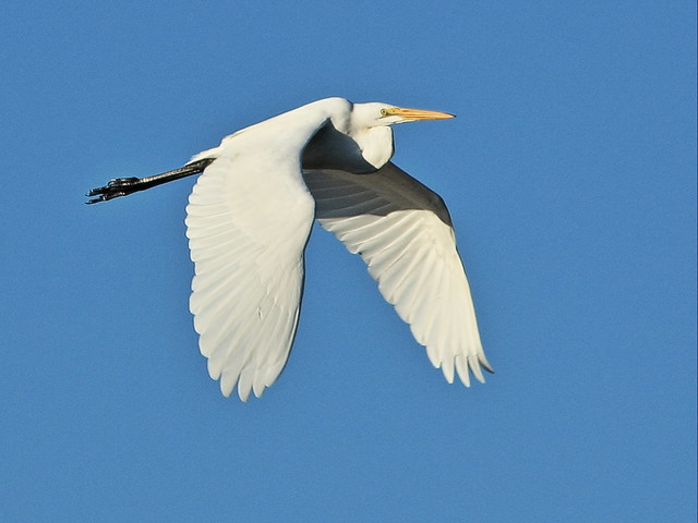Great Egret in flight 20141102
