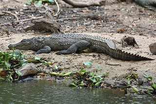 Sri Lankan Crocodile