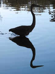 Great Blue Heron glides across pond