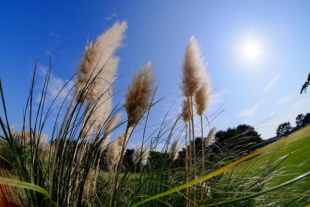 パンパスグラス pampas grass
