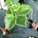 Small photo of Tetrastigma voinierianum de las vitaceae