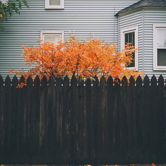 Fence on fire? Nope - it's just fall. {#vscocam #iphone5s #chicago #lincolnsquareliving #autumncolors #fallcolors}