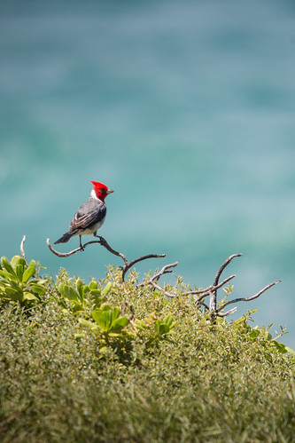Red-crested cardinal - Kaena Point