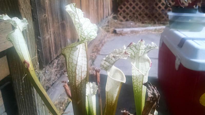 "Sarracenia leucophylla ""Titan"""